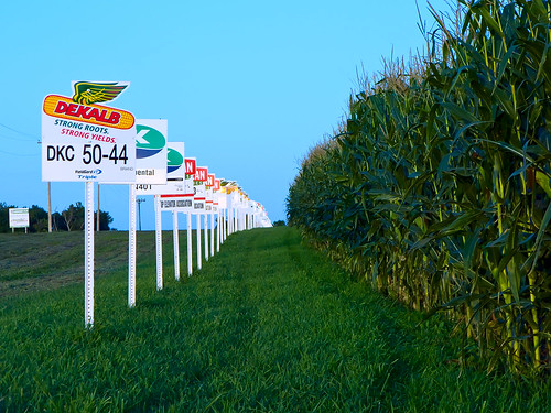 August 24: corn-sign rows