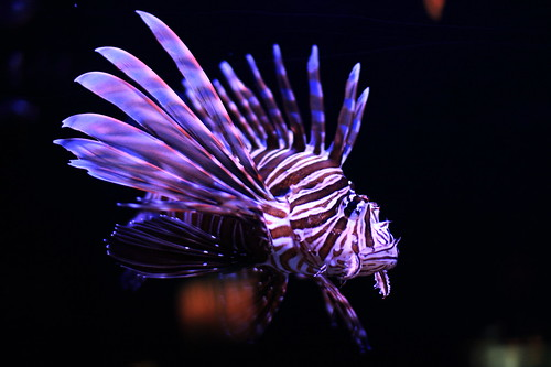 Lion Fish by thestevelau