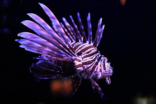 Lion Fish by thestevelau