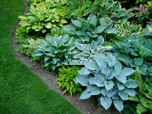 hostas ultimate shade plant stilll