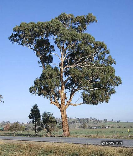 Eucalyptus melliodora Yellow Box  Mature Yellow Box tree