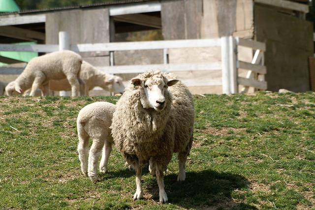 Corriedale Sheep @ Rokkosan Pasture