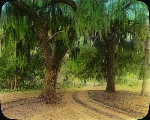 Oak and Spanish Moss in Louisiana