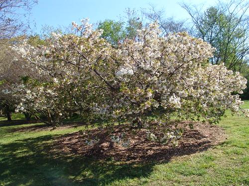 Japanese Flowering Cherry 'Mt. Fuji' {prunus serrulata}