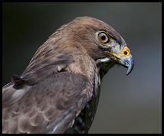Broad-winged hawk portrait 1