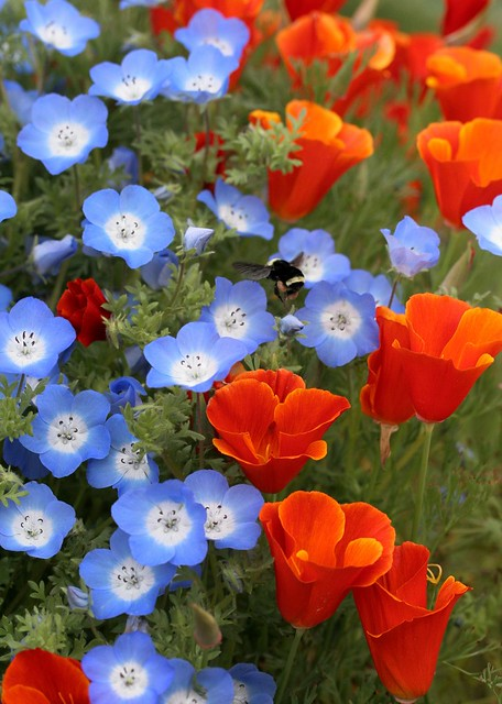 "Nemophila ""Baby Blue Eyes"" & Cal Poppy 'Red Chief'"
