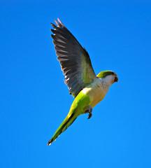 New Jersey Quaker Parrots