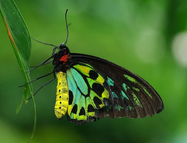 Cairns Birdwing Butterfly  Flickr  Photo Sharing