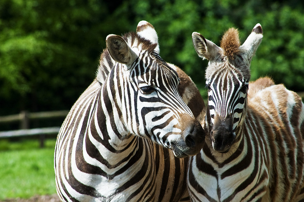 Mother and child Zebra at Fota Wildlife Park