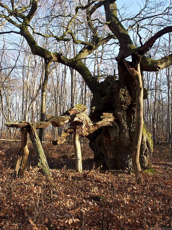 King Oak