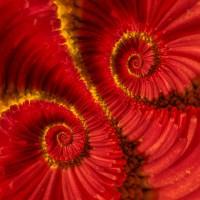 Droste: red flower (flor roja) | Flickr - Photo Sharing!