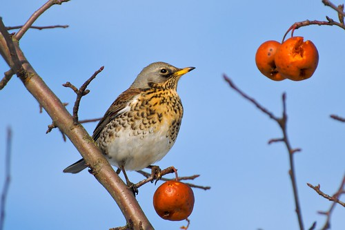 Fieldfare - the Portrait by hiljainenmies, on Flickr