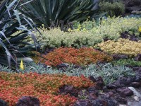 Succulent ground cover in colors, Huntington Library ...
