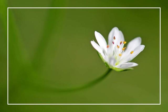 La fleur blanche