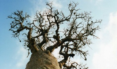 Baobab with fruits