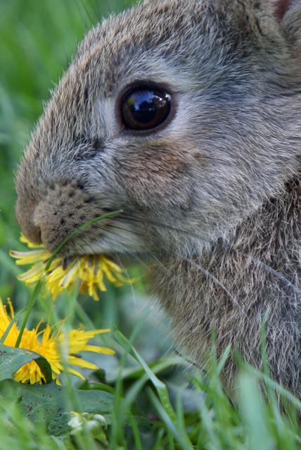 Young Wild Rabbit Eating Dandelion Flower Leighton Moss