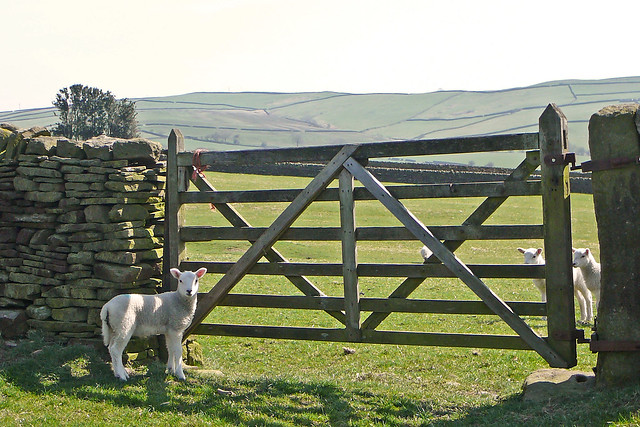 Sheep and gate
