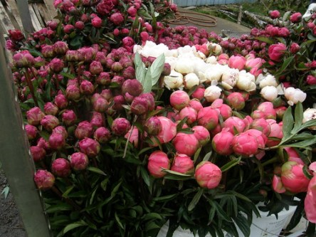peonies wholesale