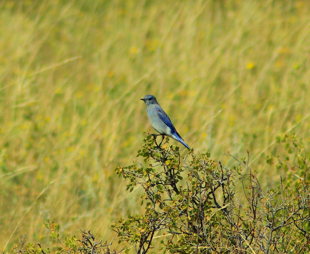 Mountain Bluebird, Rocky Mountain National Park, Colorado, September 1, 2009