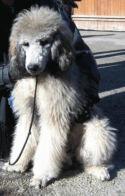 A Sable Standard Poodle Flickr Photo Sharing