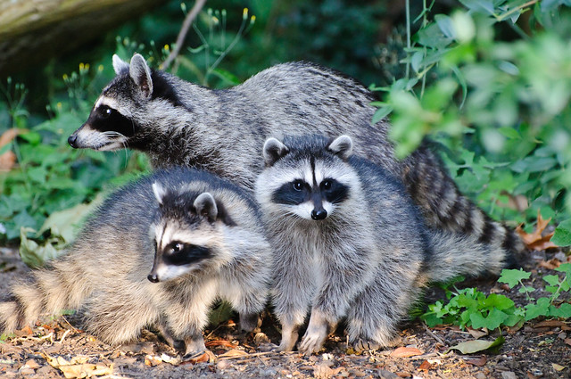 Raccoon family unit