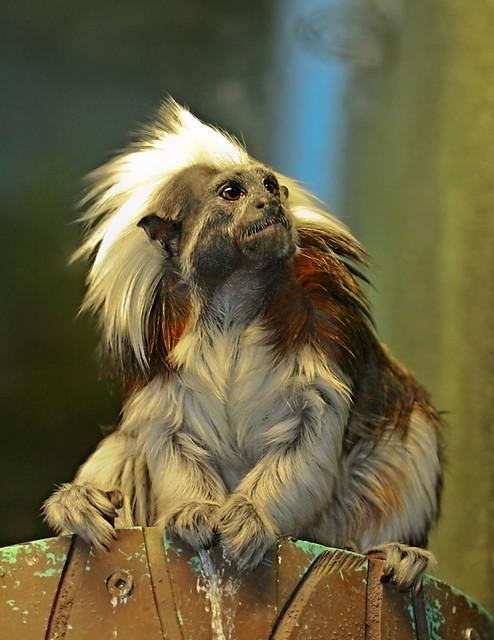 long-white-hair-monkey