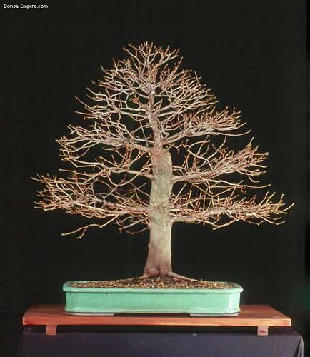 top-bonsai-gallery-l-21
