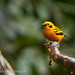 Golden Tanager (Tangara arthus) 2