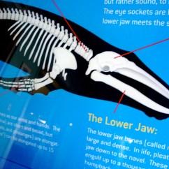 Blue Whale Life Cycle Diagram Crane Parts Skeleton