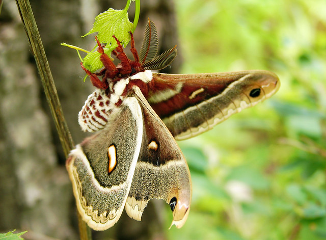 Columbia Silk Moth  Flickr  Photo Sharing