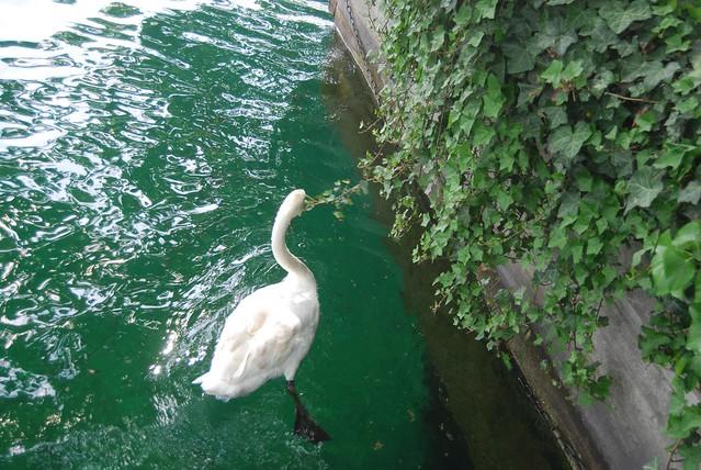 Young Swan Feeding