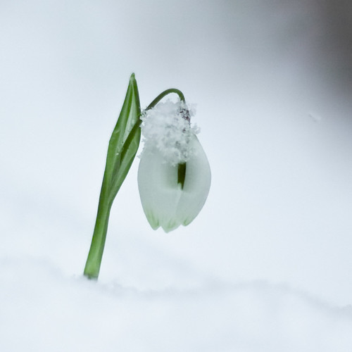 one little snowdrop by harold.lloyd