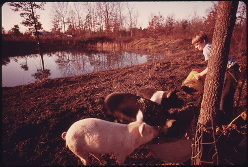 Darrell Gipson, 13, Son of Mr. and Mrs. Wayne Gipson, Who Lives near Gruetli, Tennessee, near Chattanooga, Feeds Pigs after School 12/1974