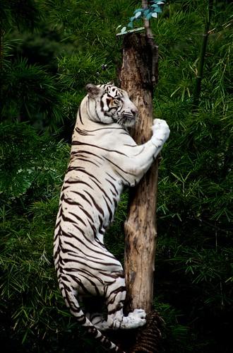 Climbing White Tiger