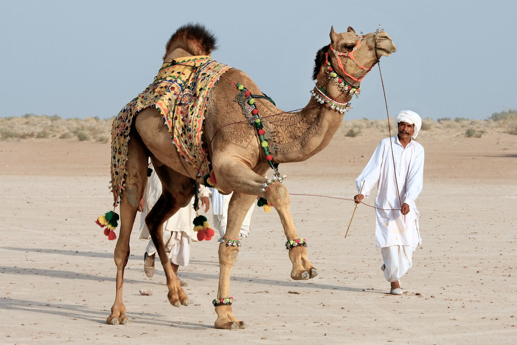The acrobatic camel
