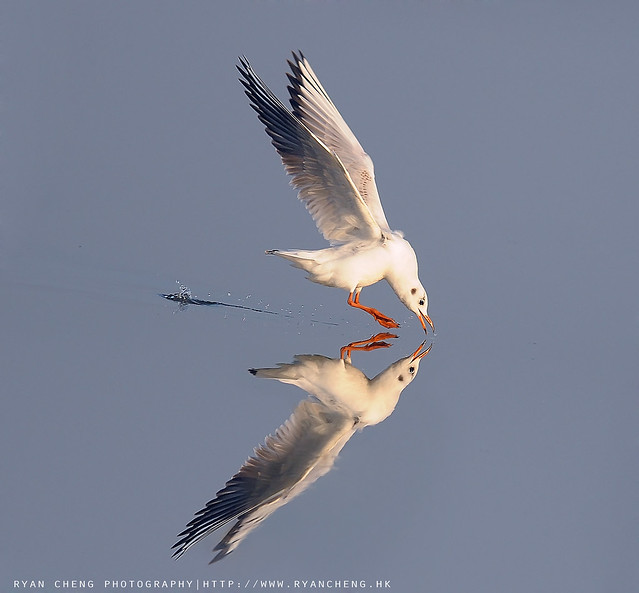 紅嘴鷗 Common Black Headed Gull