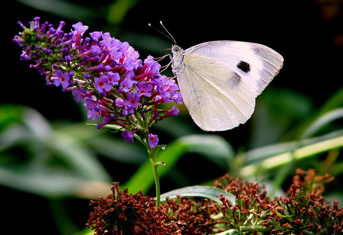 white butterfly by catlovers
