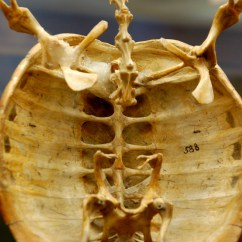 Turtle Anatomy Diagram Heil Wiring Heat Pump Skeleton Flickr Photo Sharing