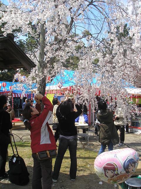 Cherry blossom viewing at Maruyama Park, Tokyo