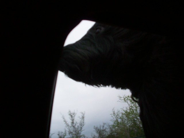 dog head out the window
