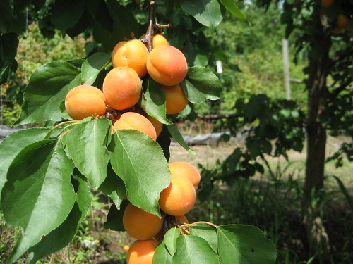 Apricots (August 15, 2009) [150/365]