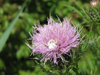 Spider in thistle, Curtis Prairie