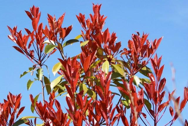 Photinia 'Red Robin' DSC09098