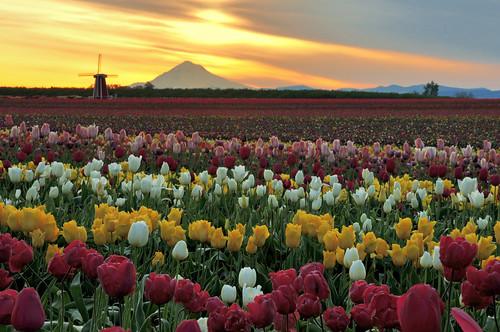 Mt Hood & Tulips