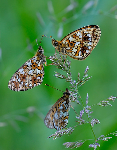 Small pearl-bordered fritillaries by Gnilenkov Aleksey, on Flickr