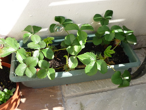 Healthy Strawberry plants
