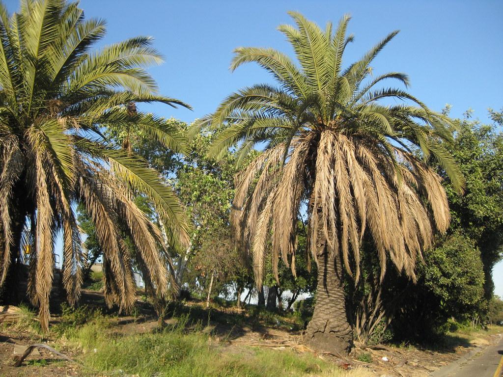 Roadside Palm Trees in LA