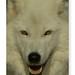 Artic Wolf, Lobo