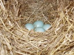 Blue bird nest & eggs