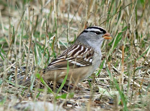 Whitecrowned Sparrow  Bird  Laura Ericksons For the Birds